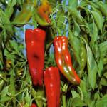 peperone-corno-di-toro(1)